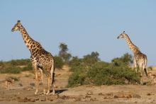 Zsiráfok a Chobe Nemzeti Parkban (Fotó: Brendan van Son).