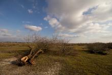 Ezüstfa irtás (Fotó: Ampovics Zsolt).
