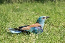 A sérült madár (Fotó: Görögh Zoltán).